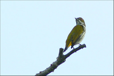 Yellow-vented Flowerpecker (Dicaeum chrysorrheum)