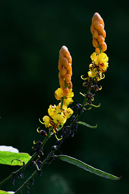 Bunga Gelenggang Cassia alata