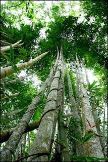 Bamboo tree at Poring Sabah
