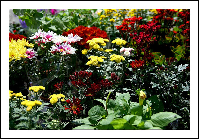 Assorted Flowers at Kundasang, Sabah, Malaysia