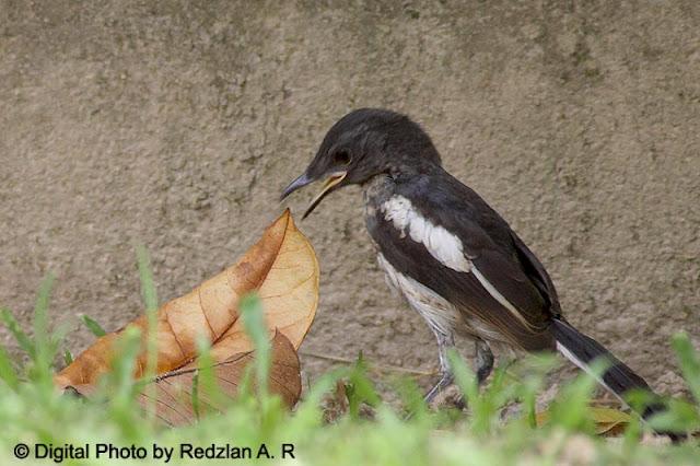 Juvenile Magpie Robin in Training