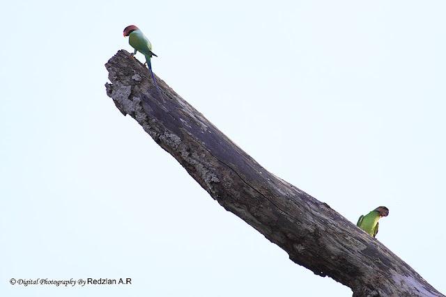 Burung Bayan Nuri, Long-tailed Parakeet (Psittacula longicauda)