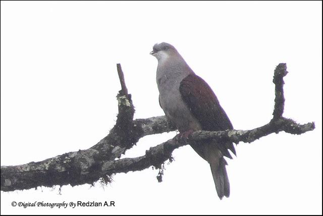 Mountain Imperial Pigeon (Ducula badia)