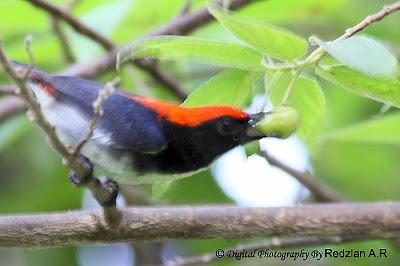 Scarlet-backed Flowerpecker (Dicaeum cruentatum) -male