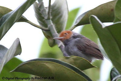 Ashy Tailorbird