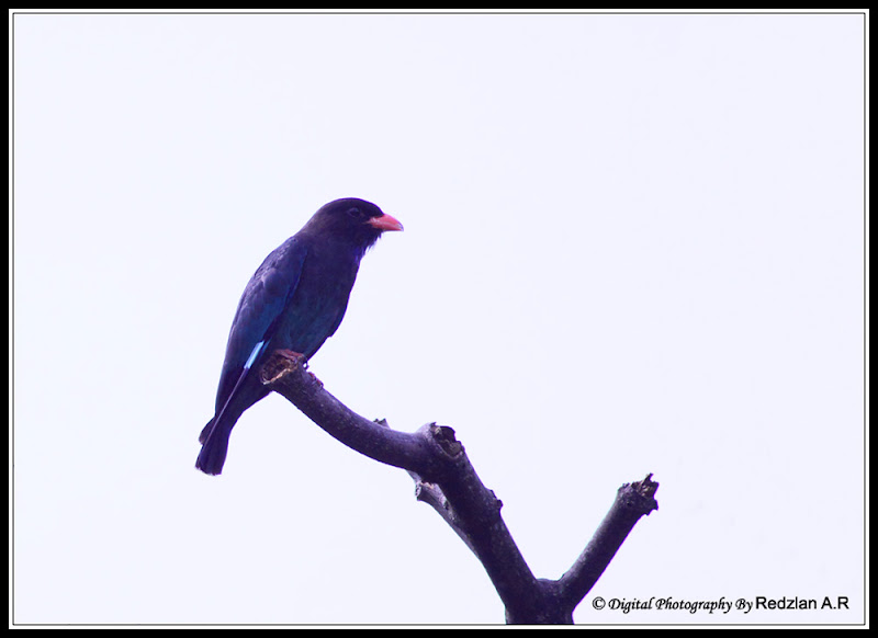 Dollarbird at Kemensah