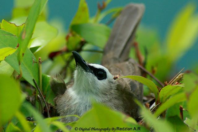Bulbul Nesting