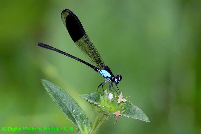 damsalfly