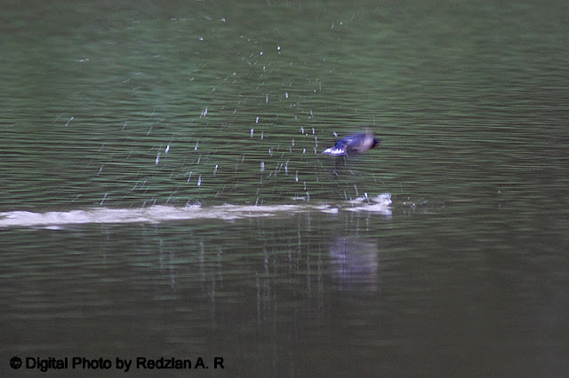 Pacific Swallow taking a bath
