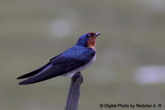 Pacific Swallow resting on stick