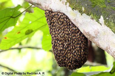 Wild Honey Bee Swarm - Sarang Lebah