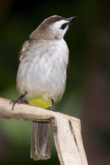 Common Bulbul at Backyard