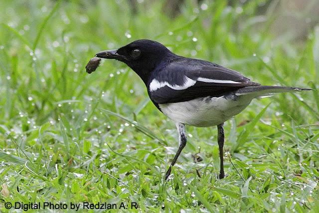 Magpie Robin Feeding