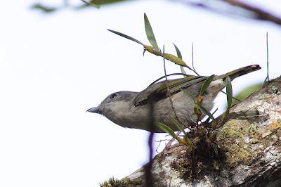Female White-browed Shrike-Babbler