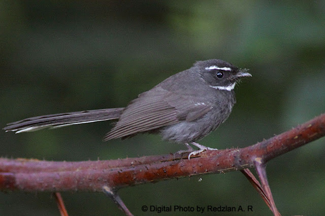 Mountain Fantail