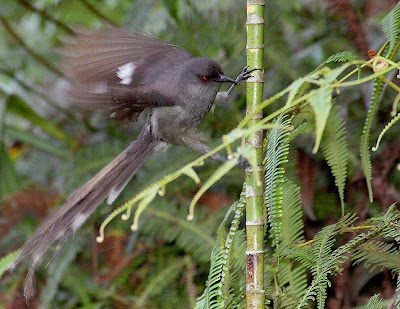 Long-tailed Sibia (Heterophasia picaoides)