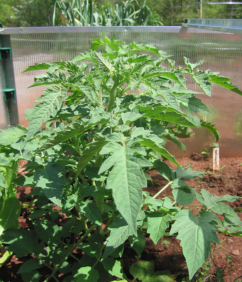Judy\'s Good Food Blog: Growing Tomatoes
