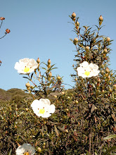 lAndalousie est recouverte de cistus au printemps.