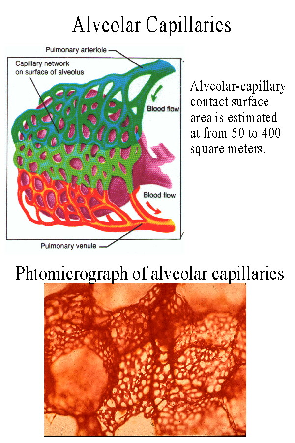 Human Cardiac And Respiratory Systems Structure Of Arteries Veins