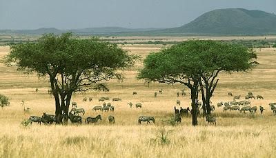 Bioma sabana adalah padang rumput dengan diselingi oleh gerombolan