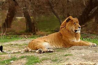 hasil kawin silang singa dengan harimau