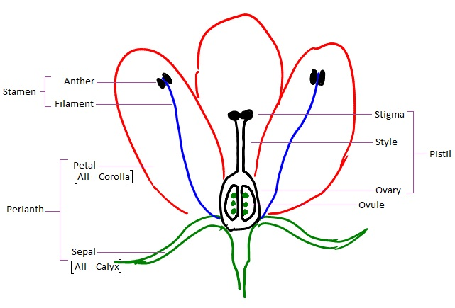 Ubc biology 343 blog lab 3 this diagrams the basic morphology of a typical flower not all flowers have parts like this often parts are reduced highly specialized or even absent ccuart Image collections