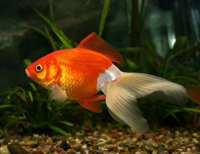 fantail goldfish eggs pictures. egg-shaped body and no