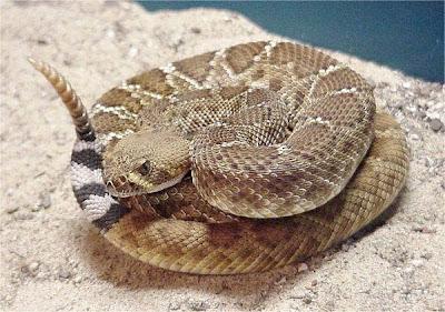 """""""serpientes Venenosas Mexicanas"""" Clip_image004"""