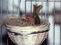 Organetta bruna sul nido