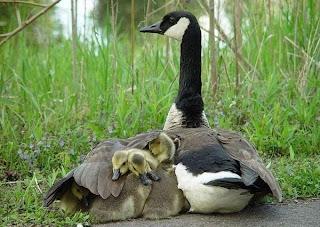 Mãe protege crias