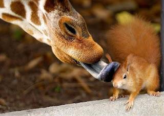 Girafa lambe esquilo