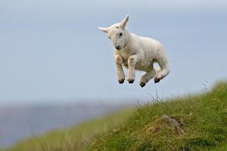 Ovelha salta no campo