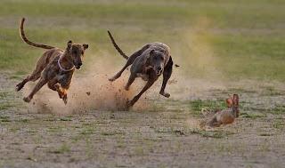 Cães perseguem lebre