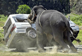 Elefante agressivo em safari
