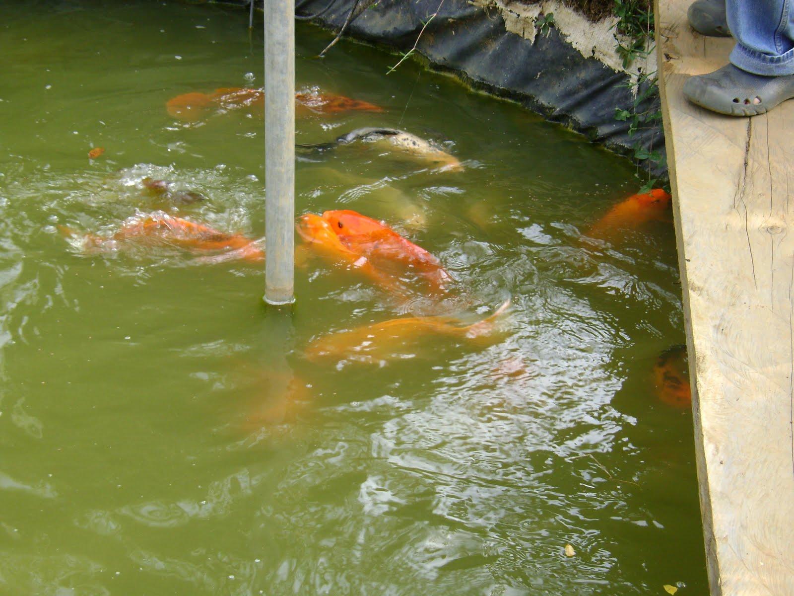 Peces ornamentales koi lagos koi for Cria de peces ornamentales