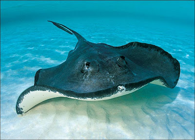 A species all about stingrays for What kind of fish does captain d s use
