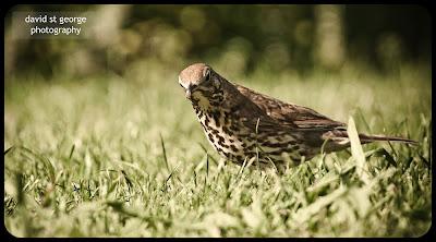 bird thrush auckland botanical gardens