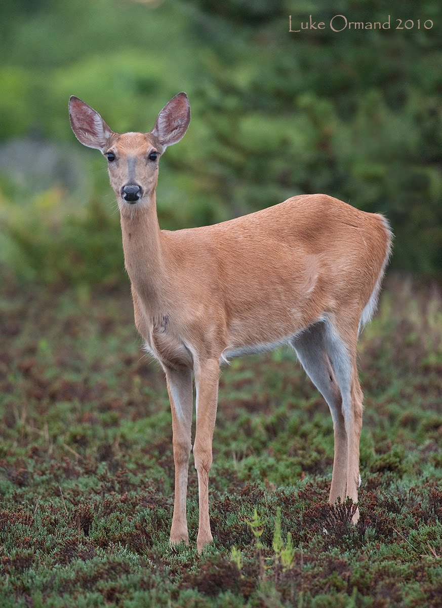 Female White Tailed Deer With Antlers