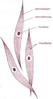CBSE | NCERT Solutions: Class IX, Biology Smooth (Un-Striated) muscles figure