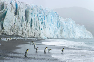 King Penguins at the Foot of Fortuna Glacier, Cumberland Sound, South Georgia Island