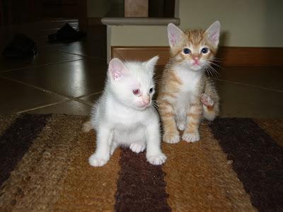 KAT - Gatinha branca nascida a 26 de Abril 09 para ADOPÇÃO 180-8076_IMG
