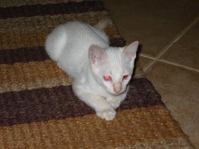 KAT - Gatinha branca nascida a 26 de Abril 09 para ADOPÇÃO 181-8149_IMG