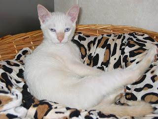 KAT - Gatinha branca nascida a 26 de Abril 09 para ADOPÇÃO 181-8158_IMG