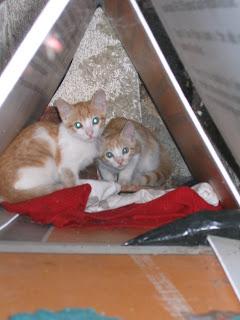 Star e Samantha > Duas gatinhas pequerruchas para adopção! IMG_1039