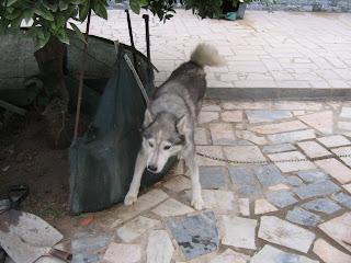Bóris, Husky Siberiano, Macho, 9 anos, Margem Sul IMG_1284