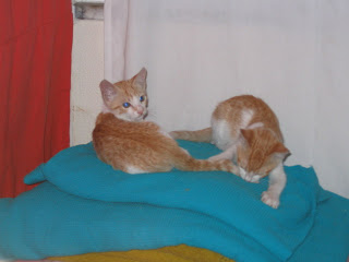 Star e Samantha > Duas gatinhas pequerruchas para adopção! IMG_1235