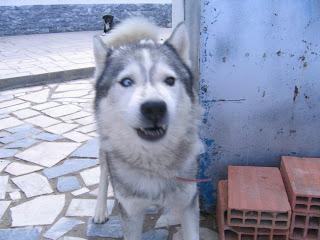 Bóris, Husky Siberiano, Macho, 9 anos, Margem Sul Dovskapets+060
