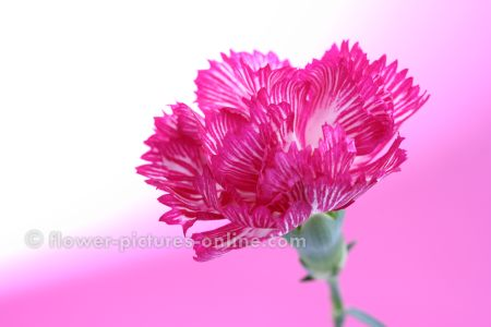 carnation flower tattoos. perfect tattoo to remember