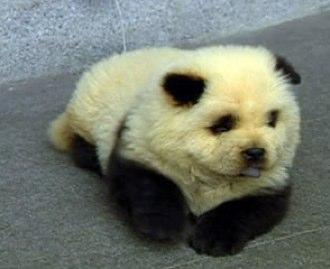 http://3.bp.blogspot.com/_Meptij1Bz64/TFJZYiBwZxI/AAAAAAAAAFI/tj-aCqIfnUs/s1600/panda-dog.jpg