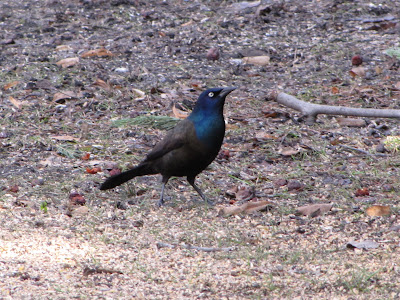 common grackle female. tattoo hair Female Common